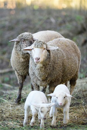 domestic sheep - Close-up of a house-sheep (Ovis orientalis aries) mother with her two lambs on a meadow in spring, Bavaria, Germany Stock Photo - Premium Royalty-Free, Code: 600-07966022
