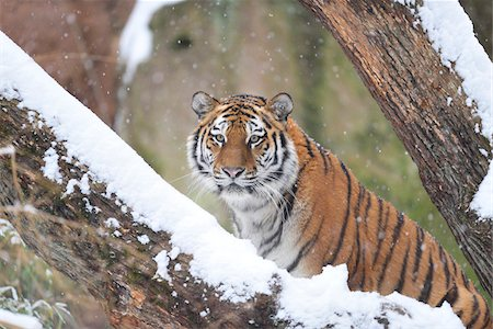endangered animal - Portrait of Siberian Tiger (Panthera tigris altaica) in Winter, Germany Stock Photo - Premium Royalty-Free, Code: 600-07966125