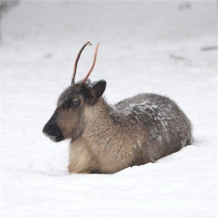 reindeer in snow - Portrait of Reindeer (Rangifer tarandus) in Winter, Germany Stock Photo - Premium Royalty-Free, Code: 600-07966123