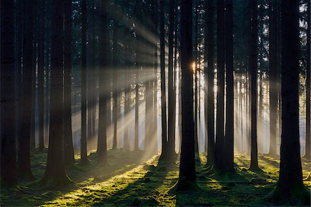 Spruce Forest in Early Morning Mist at Sunrise, Odenwald, Hesse, Germany Stock Photo - Premium Royalty-Free, Code: 600-07991688