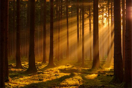 Spruce Forest in Early Morning Mist at Sunrise, Odenwald, Hesse, Germany Stock Photo - Premium Royalty-Free, Code: 600-07991694