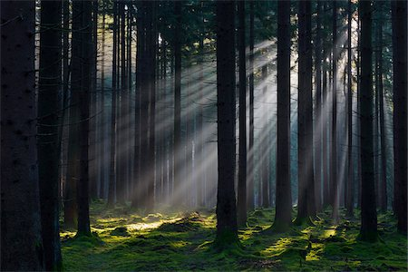 forest - Spruce Forest in Early Morning Mist at Sunrise, Odenwald, Hesse, Germany Stock Photo - Premium Royalty-Free, Code: 600-07991696