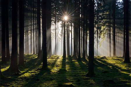 forest - Spruce Forest in Early Morning Mist at Sunrise, Odenwald, Hesse, Germany Stock Photo - Premium Royalty-Free, Code: 600-07991692