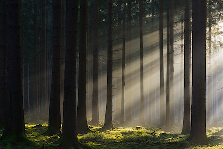 forest - Spruce Forest in Early Morning Mist at Sunrise, Odenwald, Hesse, Germany Stock Photo - Premium Royalty-Free, Code: 600-07991705
