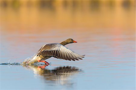 Greylag Goose (Anser anser) taking off from Water, Hesse, Germany Foto de stock - Sin royalties Premium, Código: 600-07991711