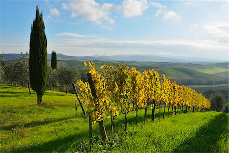 Tuscany Countryside with Vineyard and Cypress Tree, Autumn, San Quirico d'Orcia, Val d'Orcia, Province Siena, Tuscany, Italy Stock Photo - Premium Royalty-Free, Code: 600-07991728