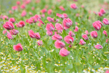 Close-up of Opium Poppy Field, Papaver somniferum, and Chamomile, Matricaria chamomilla, Summer, Germerode, Hoher Meissner, Werra Meissner District, Hesse, Germany Stock Photo - Premium Royalty-Free, Code: 600-07991739