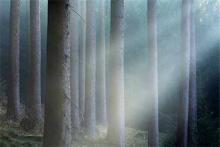 forest - Morning Haze in the Coniferus Forest, Harz, Lower Saxony, Germany Stock Photo - Premium Royalty-Free, Code: 600-07991730