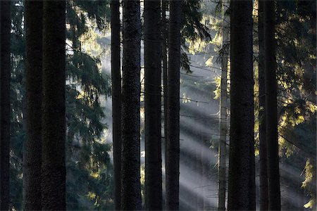forest - Morning Haze in the Coniferus Forest, Harz, Lower Saxony, Germany Stock Photo - Premium Royalty-Free, Code: 600-07991731
