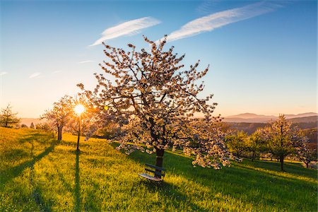 scenic and spring (season) - Blooming cherry trees on pasture land at sunrise, backlit, spring, St Pantaleon, Canton of Solothurn, Switzerland Stock Photo - Premium Royalty-Free, Code: 600-07992715
