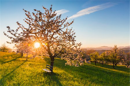 Blooming cherry trees on pasture land at sunrise, backlit, spring, St Pantaleon, Canton of Solothurn, Switzerland Stock Photo - Premium Royalty-Free, Code: 600-07992716