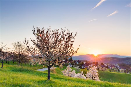 european hillside town - Blooming cherry trees on pasture land at sunrise, spring, St Pantaleon, Canton of Solothurn, Switzerland Stock Photo - Premium Royalty-Free, Code: 600-07992712