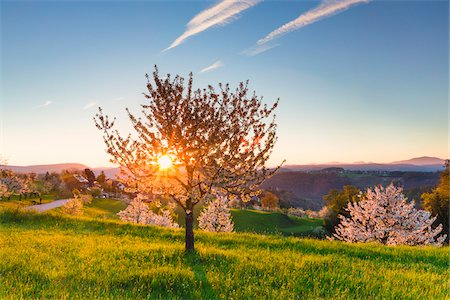 scenic view - Blooming cherry trees on pasture land at sunrise, backlit, spring, St Pantaleon, Canton of Solothurn, Switzerland Stock Photo - Premium Royalty-Free, Code: 600-07992713