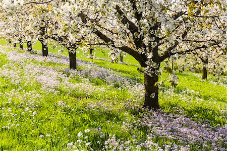 Close-up of cherry trees in bloom in rows on pasture land with Cuckoo flower (Cardamine pratensis), spring, Canton of Aargau, Switzerland Stock Photo - Premium Royalty-Free, Code: 600-08002036