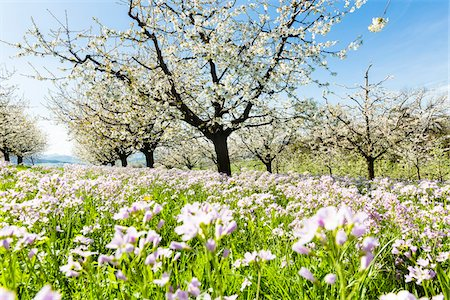 Cuckoo flower (Cardamine pratensis) and cherry trees in bloom in rows on pasture land, spring, Canton of Aargau, Switzerland Stock Photo - Premium Royalty-Free, Code: 600-08002037