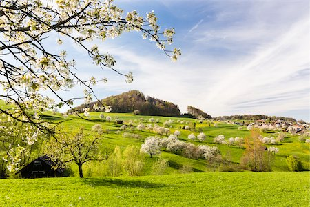 spring - Cherry trees in bloom on pasture land, spring, Canton of Basel-Landschaft, Switzerland Stock Photo - Premium Royalty-Free, Code: 600-08002038