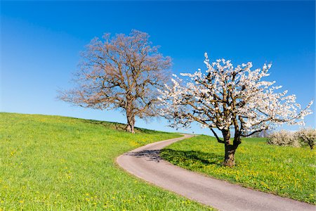 Oak tree with cherry tree in bloom beside a country road, spring, Canton of Basel-Landschaft, Switzerland Stock Photo - Premium Royalty-Free, Code: 600-08002030