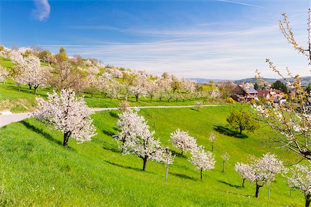 european hillside town - Blooming cherry trees on a green field with country road, spring, St Pantaleon, Canton of Solothurn, Switzerland Stock Photo - Premium Royalty-Free, Code: 600-08002048
