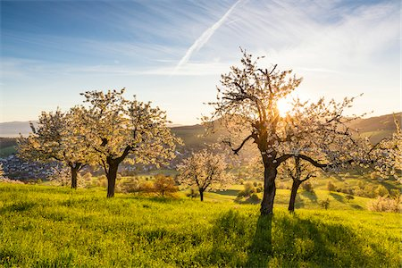 Cherry trees in bloom on pasture land at sunrise with sun, spring, Canton of Aargau, Switzerland Stock Photo - Premium Royalty-Free, Code: 600-08002042