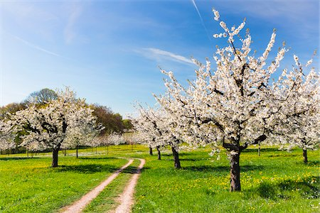 scenic and spring (season) - Blooming cherry trees on pasture land with tracks, spring, Canton of Basel-Landschaft, Switzerland Stock Photo - Premium Royalty-Free, Code: 600-08002050