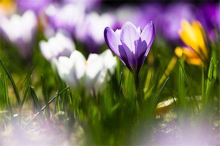 purple - Close-up of Giant Dutch crocus (Crocus vernus), backlit, spring, North Rhine-Westphalia, Germany Stock Photo - Premium Royalty-Free, Code: 600-08002068