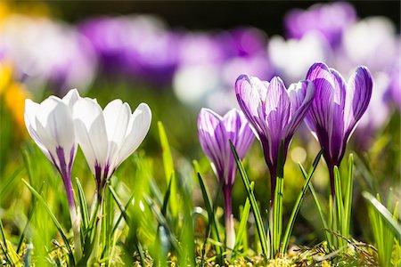 spring flowers - Close-up of Giant Dutch crocus (Crocus vernus), backlit, spring, North Rhine-Westphalia, Germany Stock Photo - Premium Royalty-Free, Code: 600-08002070