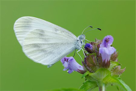 Wood White (Leptidea sinapis) Butterfly on Flower, Bavaria, Germany Stock Photo - Premium Royalty-Free, Code: 600-08002199