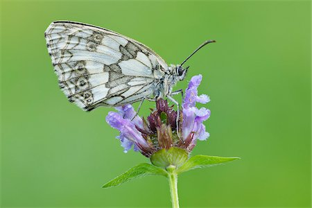 Marbled White (Melanargia galathea) Butterfly on Purple Flower, Bavaria, Germany Stock Photo - Premium Royalty-Free, Code: 600-08002200