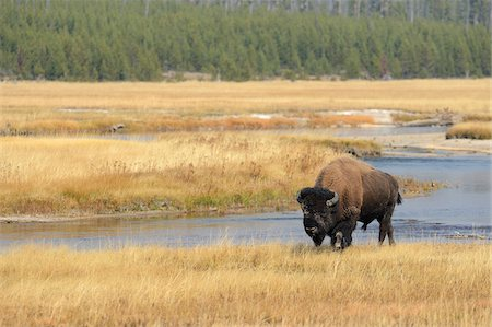 Bison (Bison bison) Bull near River in Yellow Grass in Autumn, Yellowstone National Park, Wyoming, USA Stock Photo - Premium Royalty-Free, Code: 600-08002234