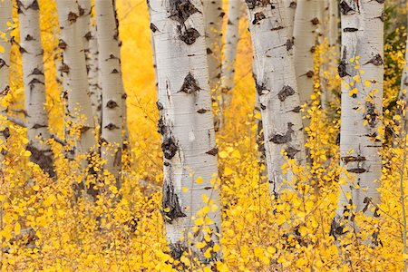forest - American Aspen Tree (Populus tremuloides) Trunks in Forest with Autumn Foliage. Grand Teton National Park, Jackson, Wyoming, USA Stock Photo - Premium Royalty-Free, Code: 600-08002252