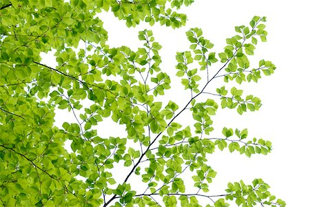 Branch of Beech Tree with Fresh Foliage in Spring on White Background Stock Photo - Premium Royalty-Free, Code: 600-08002260