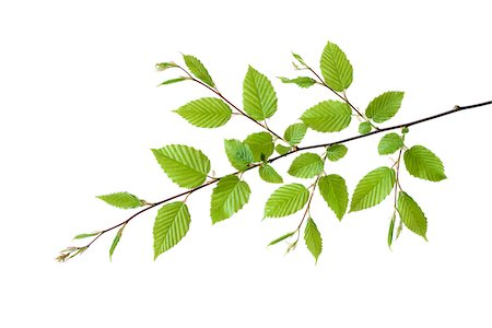 Branch of European Hornbeam (Carpinus betulus) with Fresh Foliage in Spring on White Background Stock Photo - Premium Royalty-Free, Code: 600-08002279