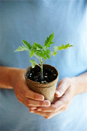 Close-up of Man's Hands Holding a Tomato Seedling in Compostable Pot Stock Photo - Premium Royalty-Free, Code: 600-08002402