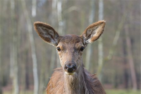 perception - Close-up portrait of Red deer (Cervus elaphus) in Early Spring, Female, Hesse, Germany Stock Photo - Premium Royalty-Free, Code: 600-08002578