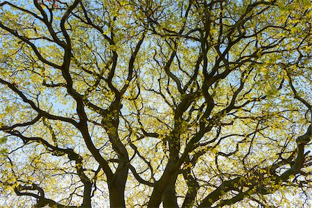 Low angle view of branches of Old Oak Tree in spring, Odenwald, Hesse, Germany Stock Photo - Premium Royalty-Free, Code: 600-08002606