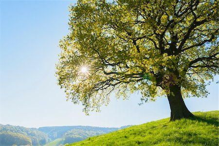 Old Oak Tree on hill with sun in Early Spring, Odenwald, Hesse, Germany Stock Photo - Premium Royalty-Free, Code: 600-08002635
