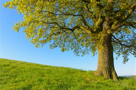 Close-up of Old Oak Tree on hill in Early Spring, Odenwald, Hesse, Germany Stock Photo - Premium Royalty-Free, Code: 600-08002630