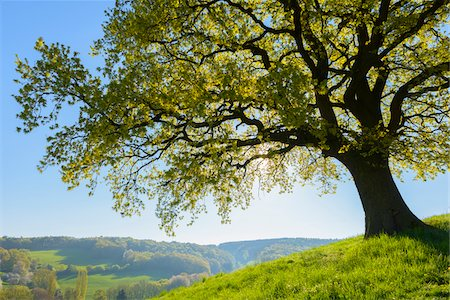 silhouettes - Old Oak Tree with scenic view in Early Spring, Odenwald, Hesse, Germany Stock Photo - Premium Royalty-Free, Code: 600-08002632
