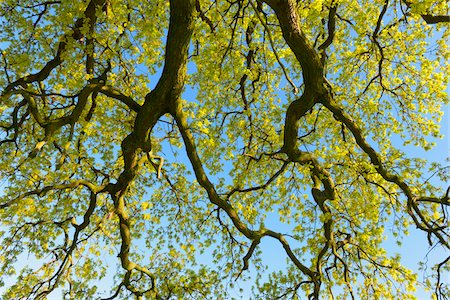 Low angle view of Branches of Oak Tree, Odenwald, Hesse, Germany Stock Photo - Premium Royalty-Free, Code: 600-08002633