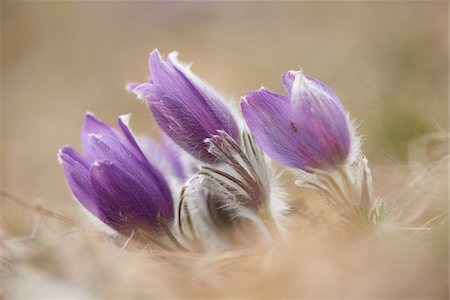 Close-up of a common pasque flower (Pulsatilla vulgaris) flowering in spring, Bavaria, Germany Stock Photo - Premium Royalty-Free, Code: 600-08002644