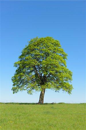 Oak Tree in Spring, Freiensteinau, Vogelsberg District, Hesse, Germany, Europe Stock Photo - Premium Royalty-Free, Code: 600-08026116