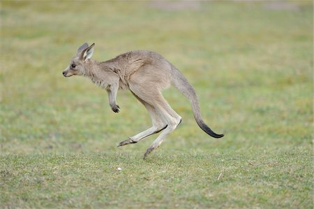Eastern grey kangaroo (Macropus giganteus) cub on a meadow in spring, Bavaria, Germany Stock Photo - Premium Royalty-Free, Code: 600-08059966