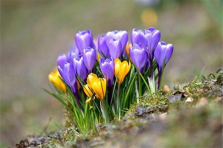 Giant Crocus (Crocus vernus) flowering in spring, Bavaria, Germany Stock Photo - Premium Royalty-Free, Code: 600-08060060