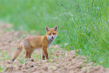 earth no people - Young Red Fox (Vulpes vulpes), Hesse, Germany Stock Photo - Premium Royalty-Free, Code: 600-08082808