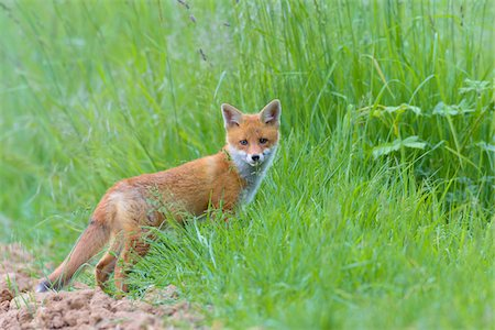 earth no people - Young Red Fox (Vulpes vulpes), Hesse, Germany Stock Photo - Premium Royalty-Free, Code: 600-08082810
