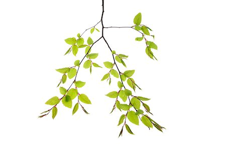 Branch of European Hornbeam (Carpinus betulus) on White Background, Studio Shot Stock Photo - Premium Royalty-Free, Code: 600-08082963