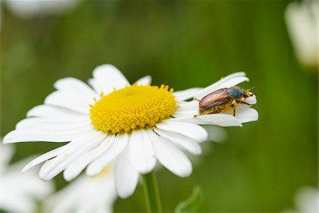 Close-up of a small beetle on a ox-eye daisy (Leucanthemum vulgare) blossom in early summer, Upper Palatinate, Bavaria, Germany Stock Photo - Premium Royalty-Free, Code: 600-08107045