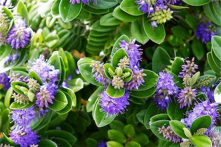 purple - Close-up of flowering plant, Aran Islands, Republic of Ireland Stock Photo - Premium Royalty-Free, Code: 600-08102755
