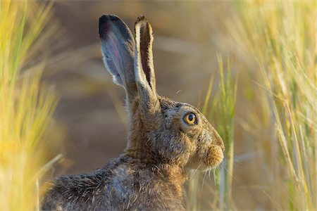 european - European Brown Hare (Lepus europaeus) in Summer, Hesse, Germany Stock Photo - Premium Royalty-Free, Code: 600-08102963