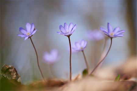 Close-up of Common Hepatica (Anemone hepatica) on the forest-floor in early spring, Upper Palatinate, Bavaria, Germany Stock Photo - Premium Royalty-Free, Code: 600-08122055